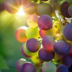 Vorteile und Anwendungen von Traubenkern-Trägeröl – Eine kurze Anleitung!